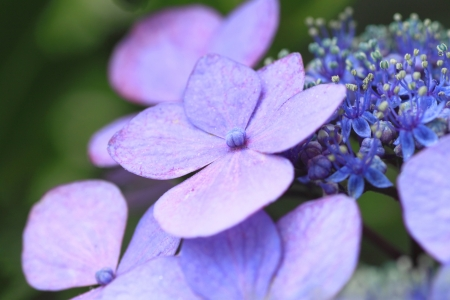 bailiwick: Close up   Hydrangea macrophylla   in summer (  Iwate, Japan) Stock Photo