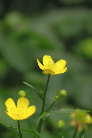 rosoideae: Close up Potentilla matsumurae  in  Akita-  Komagatake Stock Photo