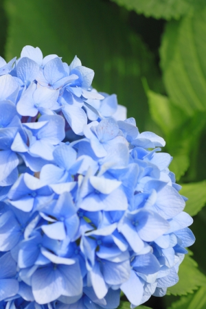bailiwick: Close up   Hydrangea macrophylla   in summer    Iwate, Japan