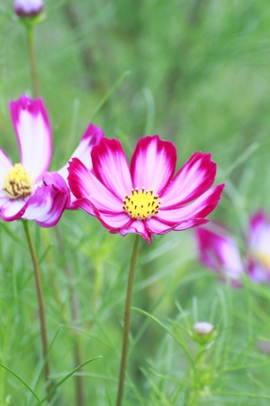 coloful: Close  up   coloful  Cosmos  Flowers  in  summer