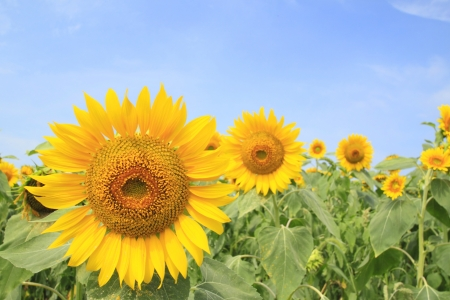 Close up sunflowers in the field in summer Stock Photo - 14845091