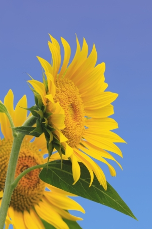 Close up sunflowers in the field in summer  photo