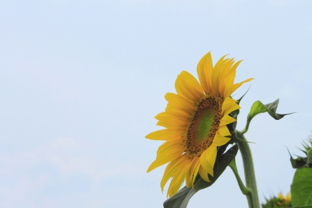 Close up sunflowers in the field in summer