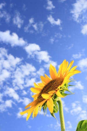 Blue sky and sunflowers on the  field   in summer  photo