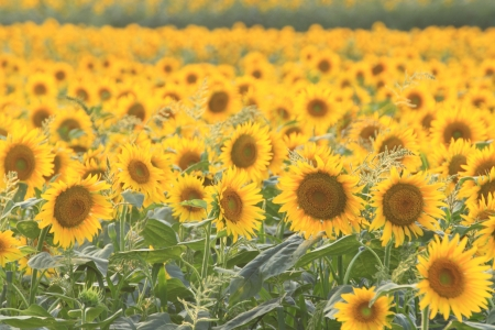 Close up sunflowers on the field in summer  photo