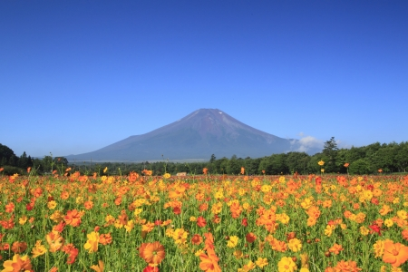 Mt . Fuji  and    beautiful Cosmos   in  summer