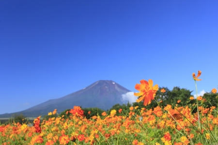 Mt . Fuji  and    beautiful Cosmos   in  summer photo