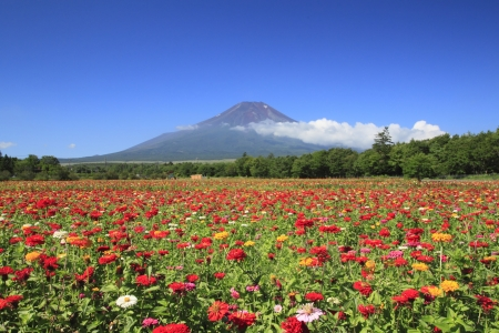 Mt . Fuji  and beautiful Zinnia in  summer