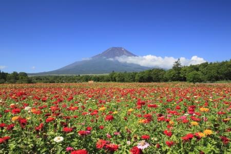Mt . Fuji  and beautiful Zinnia in  summer