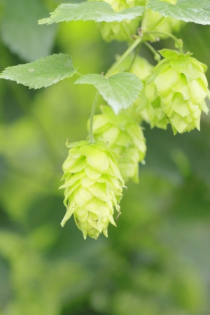 Close  up  Fresh Green  hops   in summer photo