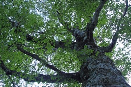 sanchi: Mother tree in  Shirakami- Sanchi   world  heritage