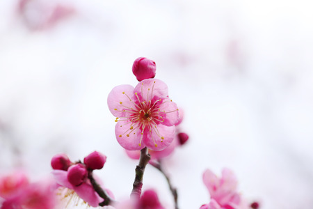 ume: UME Japanese plum-blossom in Osaka Japan Stock Photo