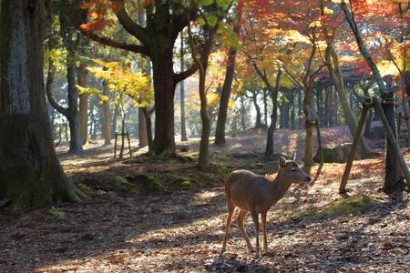 animal only: Nara deer roam free in Nara Park, Japan