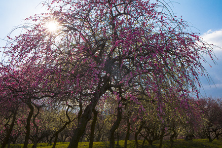 Japanese plum grove in full bloom   ,in Inabe  Mie Prefecture