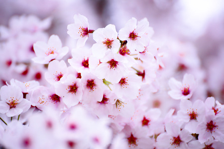 Pink cherry blossom flower in japan royalty free stok fotoraf pink cherry blossom flower in japan stok fotoraf 82266234 mightylinksfo
