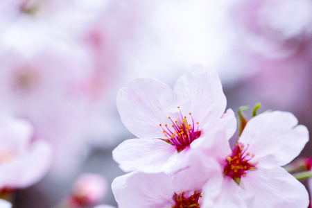 Pink cherry blossom flower in japan royalty free stok fotoraf pink cherry blossom flower in japan photo mightylinksfo