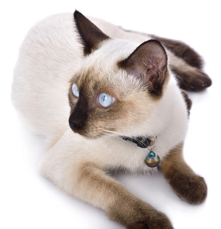 oldstyle: a thai cat is a traditional or old-style siamese cat