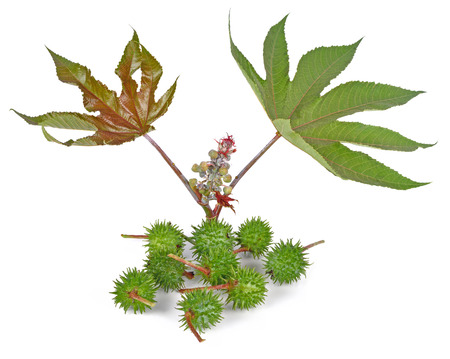 laxative: Castor oil plant on white background Stock Photo