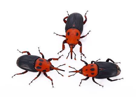 exemplary: Red weevil insect on white background