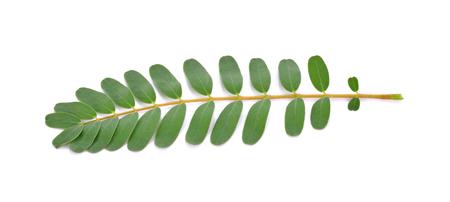 thai herb: Agasta leaves on White Background