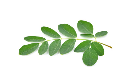 malunggay: Moringa leaves on white background