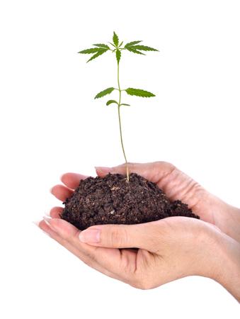 seedlings cannabis on hands Stock Photo