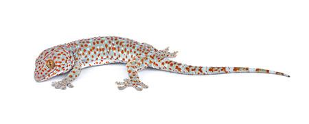 tokay gecko: gecko isolated on white background Stock Photo