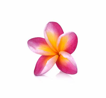 subtropical: Frangipani flower isolated on white background