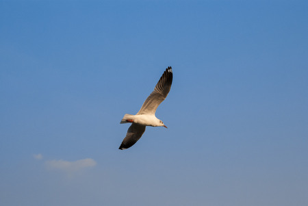white flight feathers: Seagull on the sky Stock Photo