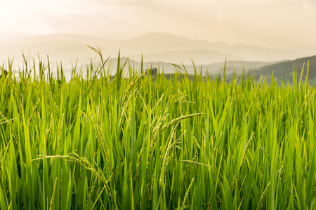 Rice field ,Locate on Baan pa bong piang ,Chaing mai province ,Thailand Stock Photo