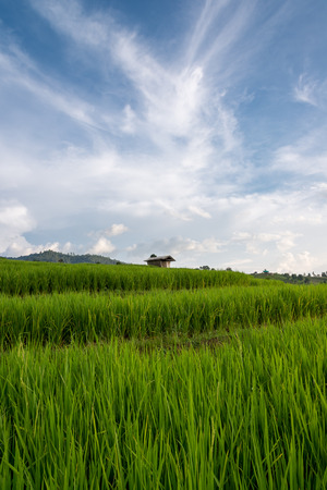 Rice field and Sky ,Locate on Baan pa bong piang ,Chaing mai province ,Thailand Stock Photo