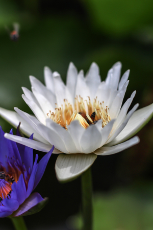 The bee grooming of the white and blue lotus in the garden.