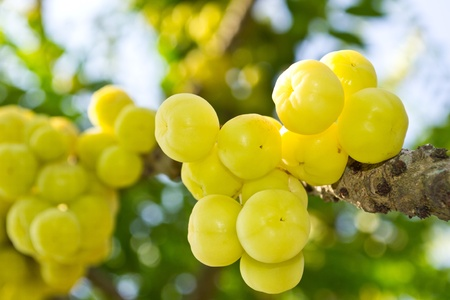 gooseberry: Stock Photo: Star Gooseberry On Tree.
