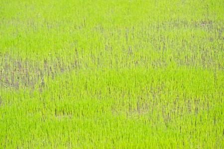 Paddy rice in green. Stock Photo - 9569394