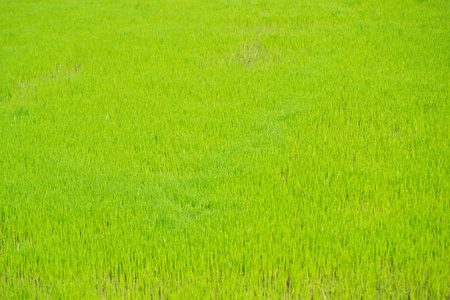 Paddy rice in green. photo