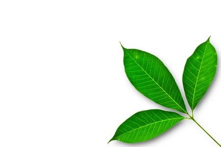 blad van Para rubber boom op een witte achtergrond