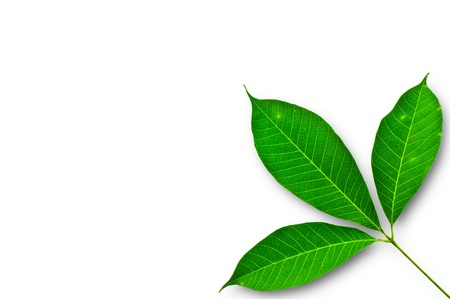 leaf of Para rubber tree on a white background
