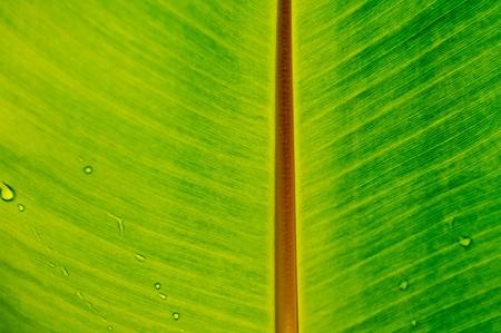 Back lit fresh green banana leaf used for backgrounds. photo