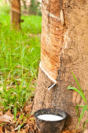 tapper: Rubber plantation, South East Asia Stock Photo