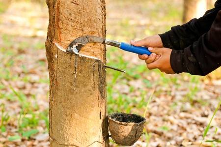 Tapping latex from a rubber tree  Phuket, Thailand photo