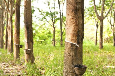 bark rain tree: View of a rubber plantation in the southern, Thailand