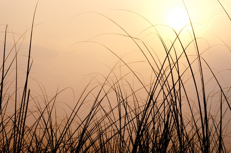 cane plumes: Grass and sunset Stock Photo