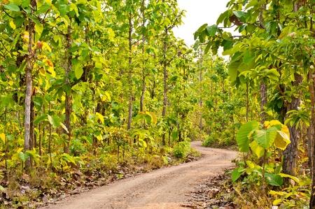 Dirt Road through Dipterocarpus tuberculatus Roxb Tree Forest in Spring at Loei in Thailand  Stock Photo - 13139799