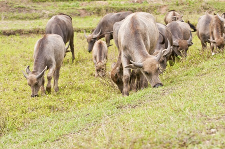 water buffalo in a field   photo