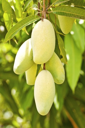 Fresh mangoes on the tree