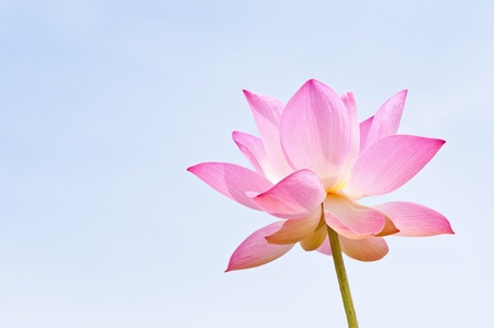 Lotusbloem Stockfoto - 13457699