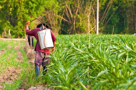 corn plant and farmer working in farm of thailand southeast asia  photo