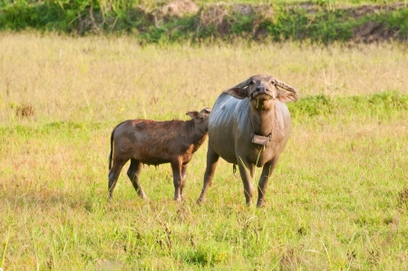 Thai buffalo in grass field near Bangkok, Thailand   photo
