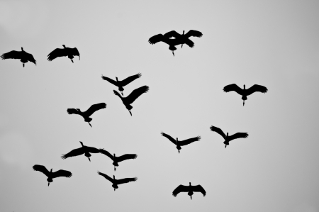 carrion: Black and white bird in flight