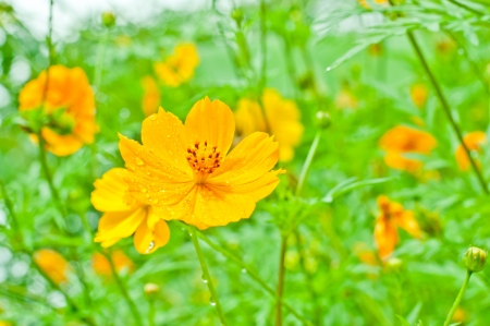 Yellow flower of cosmos  photo